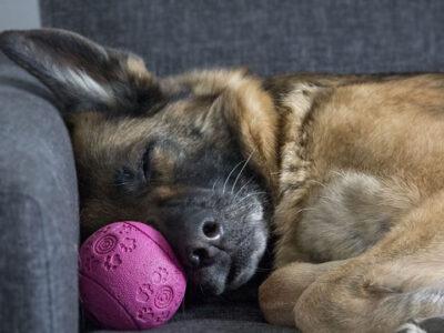 pas na krevetu sa lopticom